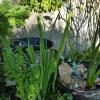 Fontaine Glycine fraise grenouilles sept 16