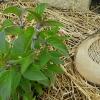 Sauge Ananas pyrogravé